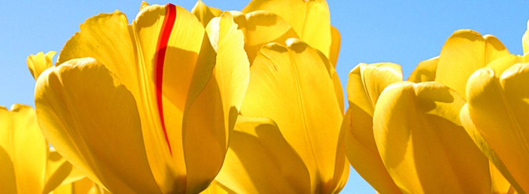 Listing_background_tulips