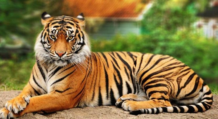 Listing_background_tiger-02